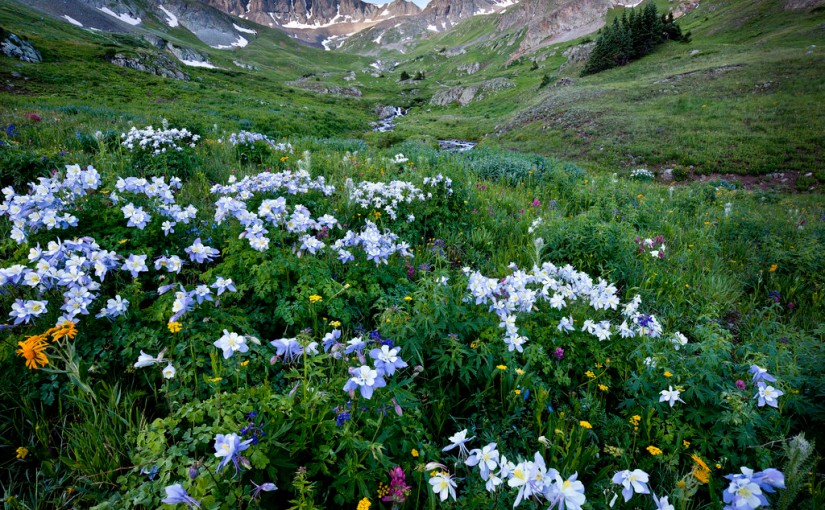 Columbine Meadows