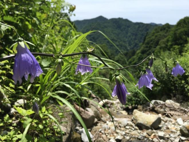 wayama sakai-tori kabuto-tenkara-nagano prefecture-shokuriyoshi-tori kabuto flowers