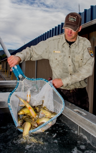 Nate Wiese Mora National Fish Hatchery loading Gila trout destined for Mineral Creek in Gila NF photo Craig Springer USFWS re-sized