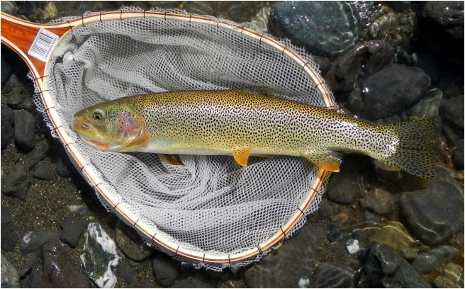 Native Born Cutthroat Trout Are Like Jewels in Vancouver Island Mountain Streams